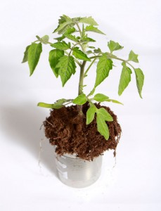 tomato plant in container