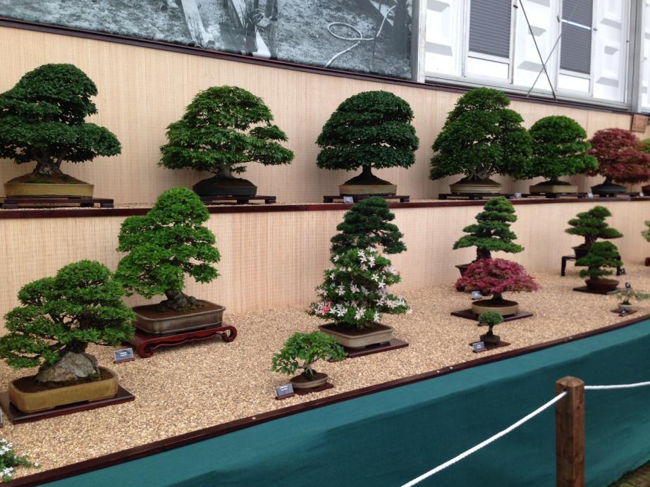 bonsai tree the garden furniture centre