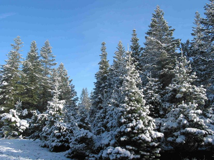 Christmas trees clean the air around them and produce loads of oxygen