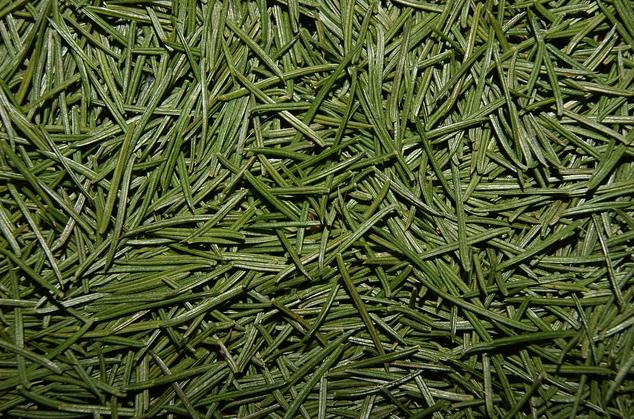 Christmas Tree Tea is made from pine needles