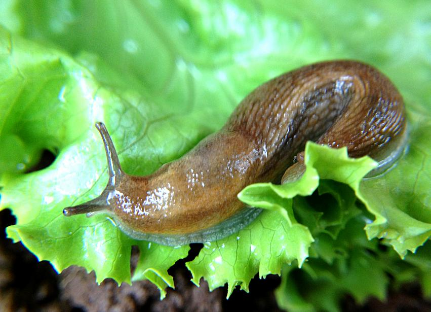 Natural pest control for slugs
