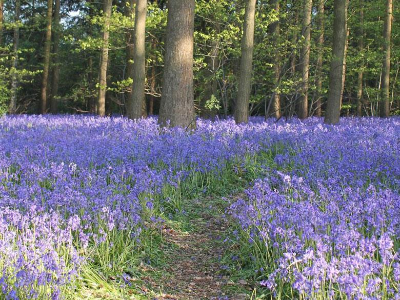 Charity Bluebell Walk In Warwickshire