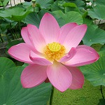 Lotus Flower Party Bowl
