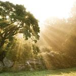 Sun Rays on an Oak Tree