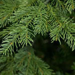 Close up of the needles on the Nordic Spruce