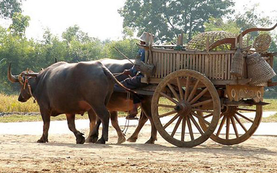 Working Ox Cart with driver